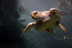 Murphy the Loggerhead Sea Turtle