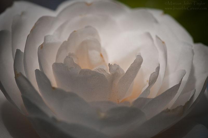 White camellia flower camellia japonica invisible green photography white camellia flower camellia japonica mightylinksfo
