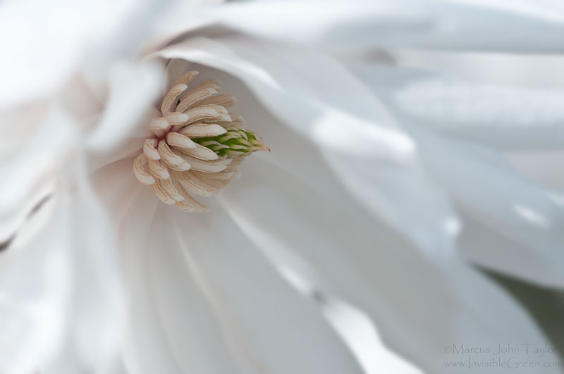 Star Magnolia -- Purity