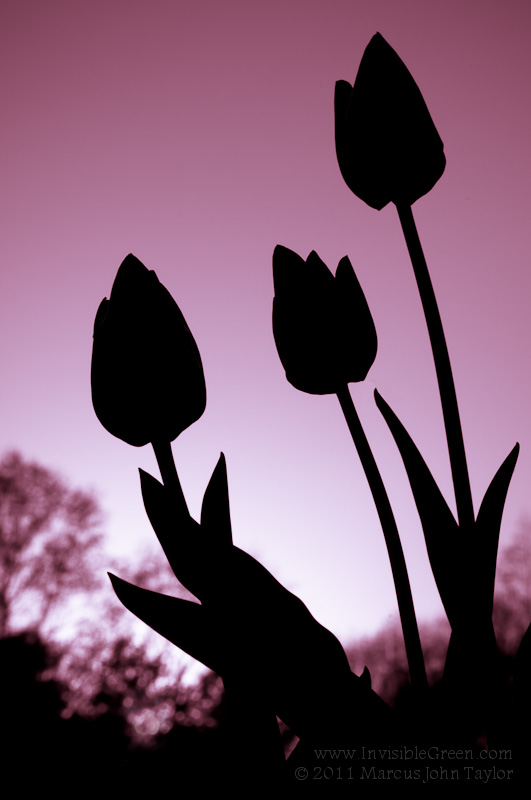 Go Back > Gallery For > Tulip Silhouette