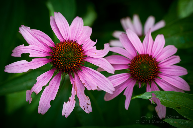 Pre-Chewed Cone Flowers
