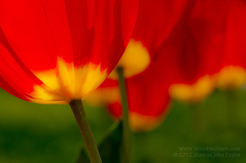 Carter Center Tulips MMXII