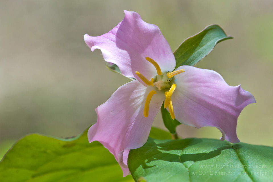 Trillium at Talley Mill Creek