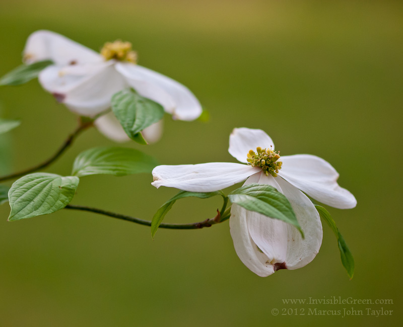 Rabun Gap Easter Dogwood