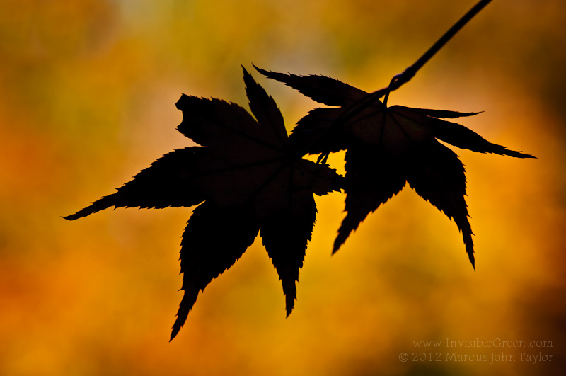 Autumn Maple Leaf Silhouette