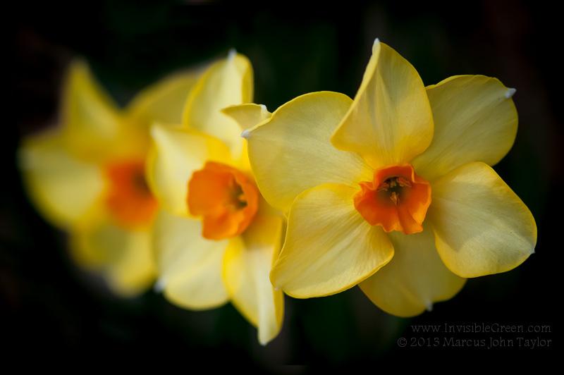 RNT Memorial Daffodils 2013