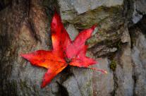 Maple Leaf on Rock