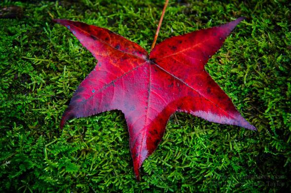 wpid8803-Maple_Leaf_on_Moss-9129.jpg