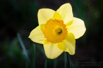RNT Memorial Daffodils 2015