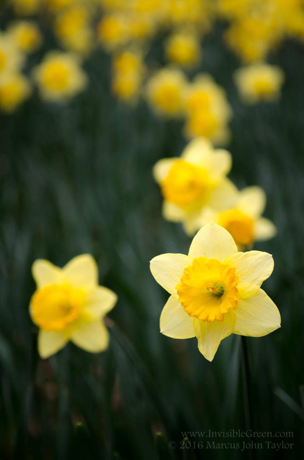 RNT Memorial Daffodils 2016