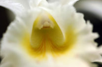 Orchid in Yellow and White