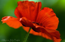 UGA Red Poppy