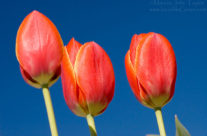Red Tulip Triplet