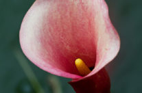 Calla Lily in a Pond