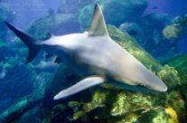 Tennessee Aquarium Sandbar Shark