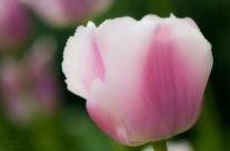 ABG Tulip II