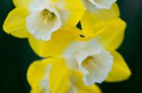 Minil Daffodils