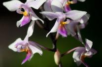 Atlanta Botanical Gardens Orchids I MMX