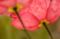 Pink Poppies — Georgia Botanical Gardens