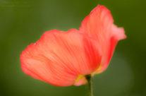 Single Poppy — Georgia Botanical Gardens